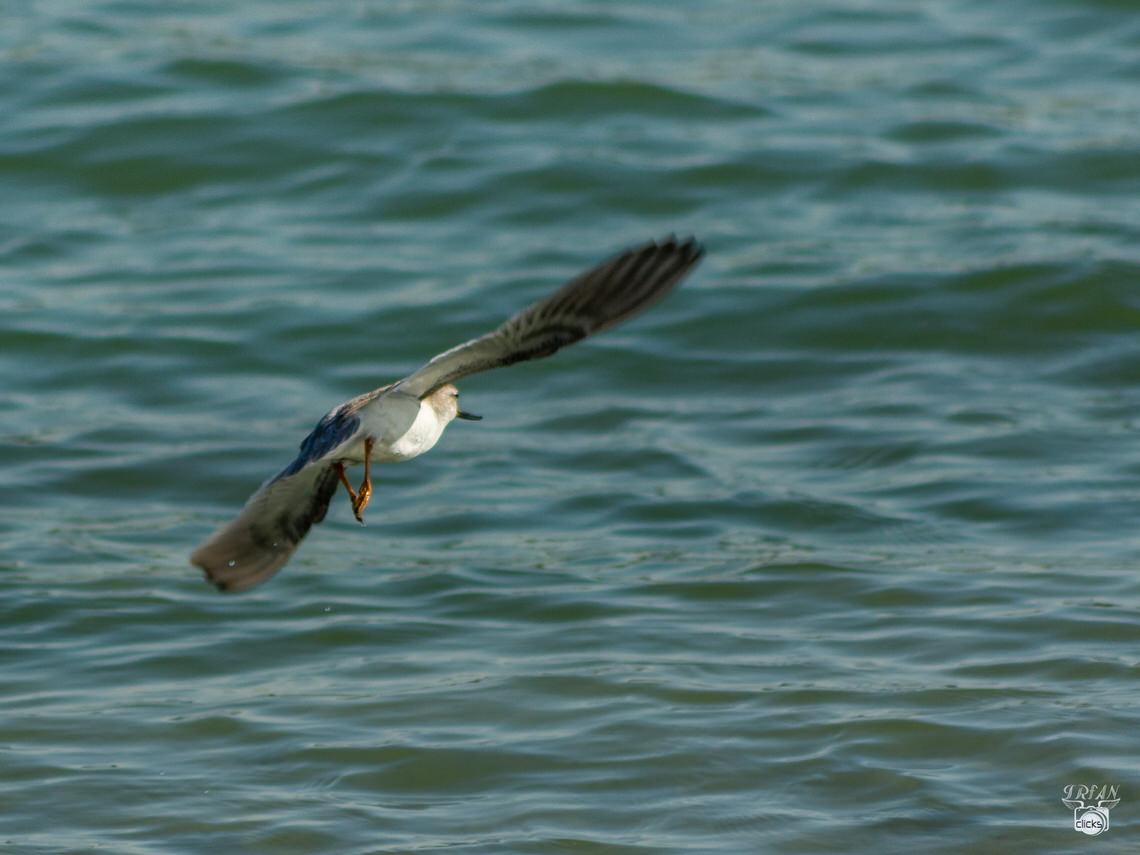 Abu dhabi birds photography