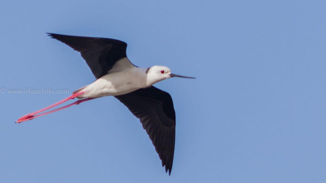 black winged stilt abu dhabi